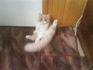 cat gymnastics cat gymnastics n5kf jokeroo