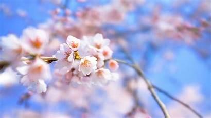 Sakura Flower Wallpapers Blossom Cherry Desktop Background