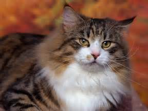 for cats free free cat wallpaper cat pictures animal desktop