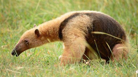 aparecio  oso hormiguero en laguna paiva nexo diario