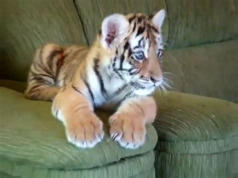 un bébé tigre sur un canapé
