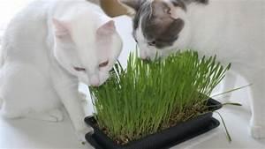 Herbe à Chat : l herbe chat est elle dangereuse ~ Melissatoandfro.com Idées de Décoration