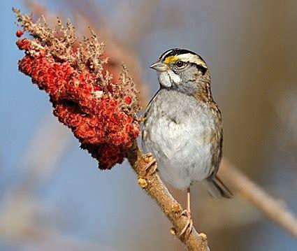white throated sparrow identification   birds