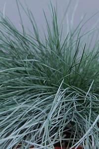 Festuca - Allure Tuinplanten BV
