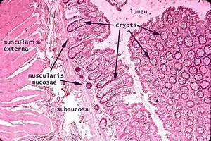 Siu Som Histology Gi