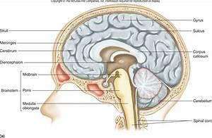 Diagram Nerve System