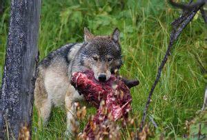 Tēvzemes Balss: Lāči un vilki saimnieko mežos