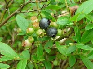 Wild Blueberry Bushes