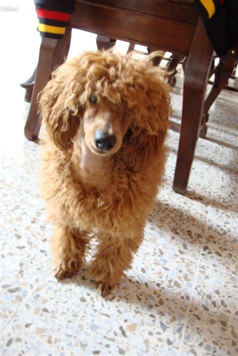 Poode Girl Poodle Forum Standard Poodle Toy