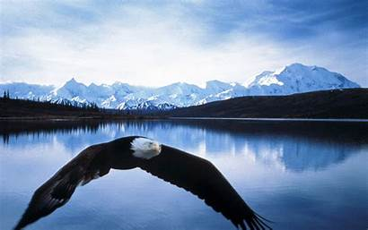 Denali Alaska National Park Bald Eagle Flight