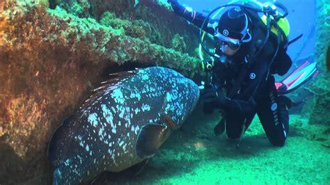 mero grouper dusky