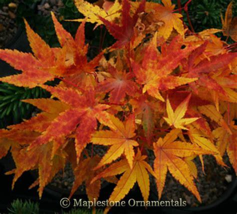 rare japanese maples  sale maplestone ornamentals