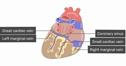 Coronary Heart Sinus Posterior Veins Cardiac Side