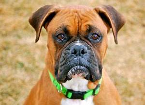 Dog Breed Guide: Boxers