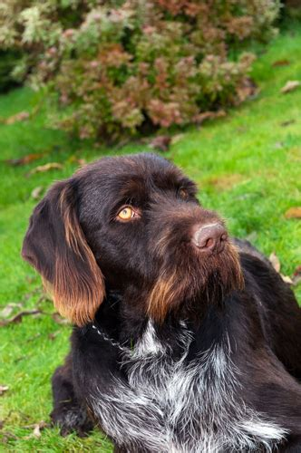 german wirehaired pointer non shedding german wirehaired pointer non shedding 28 images