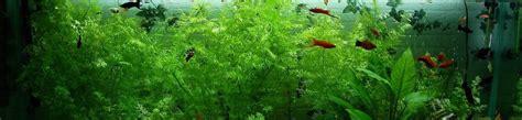 plantes aquarium croissance rapide 10 plantes d aquarium 224 croissance rapide