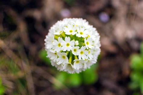 uno piu giardino pianta con i fiori sferici immagine stock immagine