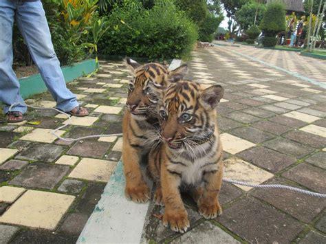 gambar wallpaper anak harimau gudang wallpaper
