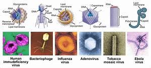 Useful Viruses In Our Organism