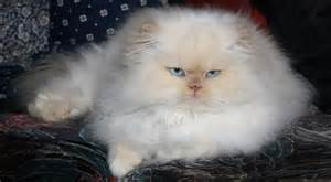 hair cat grooming grooming is essential for haired cats celia haddon