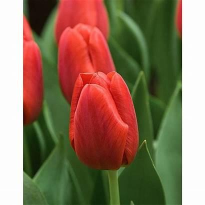 Tulip Pallada Triumph Pkg Bulbs Thru Ships