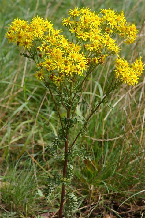 ragwort tansy horses poisonous poisoning flower wikipedia fischer