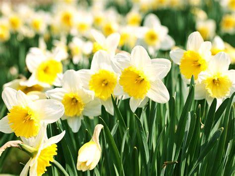 grow daffodils saga