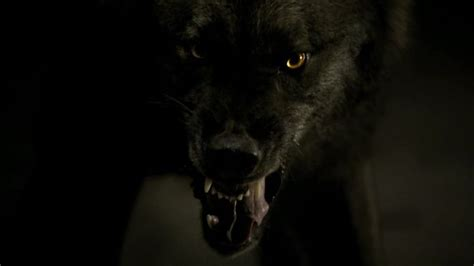 Angry Lone Wolf Wallpaper by Black Wolf Do You Like The Wolf Is A Black