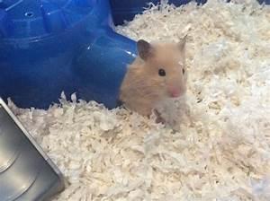 7 best Piper images on Pinterest   Hamster stuff, Hamster ...