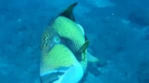 Attaque de Baliste titan / Triggerfish attack - YouTube