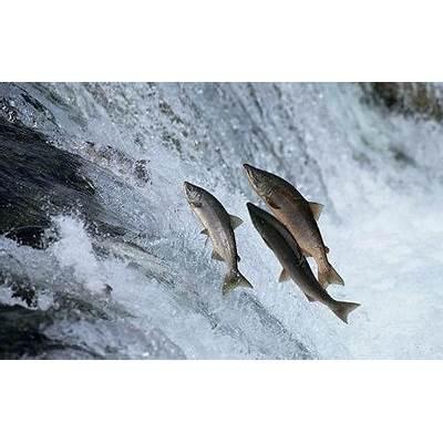 ThenIGo.com - Salmon Migration