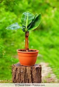bananenstaude pflege uberwintern und tipps bei braunen With feuerstelle garten mit banane zimmerpflanze früchte