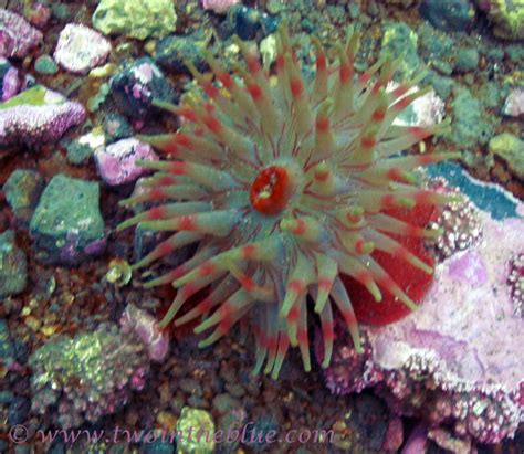 Sea Anemone Cf Urticina Eques Two In The Blue