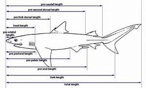 Shark Anatomy  U2013 Discover Fishes