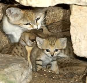 sand cat for extinct in israel sand cat kittens emerge at zoo tel aviv