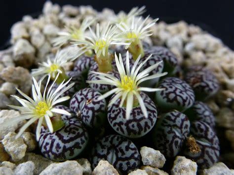 conophytum wittebergense world  succulents