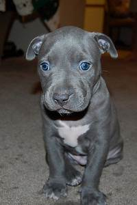 pitbull puppy | Flickr - Photo Sharing! | OMG TOO CUTE ...