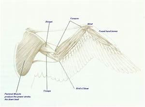 Anatomy  Wings On Pinterest