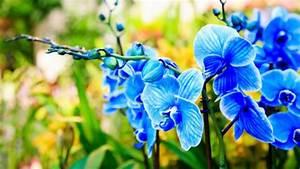 Schöne Orchideen Bilder : blaue orchideen so entstehen sie ~ Orissabook.com Haus und Dekorationen