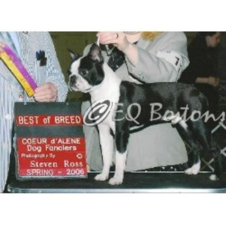 Eq Bostons Boston Terrier Breeder In Newman Lake Washington