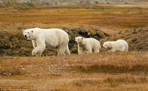 Hungry polar bears devour a whale carcass left out for