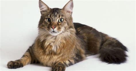 quanto vivono i gatti persiani maine coon cat characteristics maine coon expert