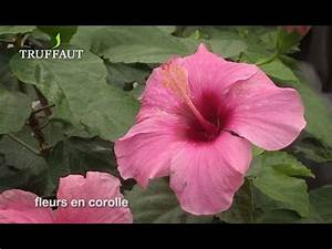 Comment Reconnaitre Un Hibiscus D Intérieur Ou D Extérieur : comment tailler un hibiscus de jardin jardinerie ~ Dallasstarsshop.com Idées de Décoration