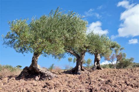 pflege vom olivenbaum  wertvolle tipps