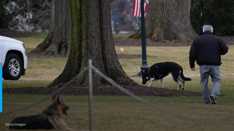 Biden's dog Major will return to the White House after ...