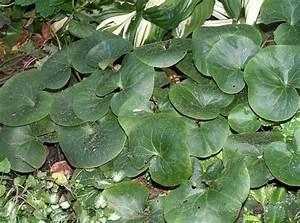 Schädlinge Zimmerpflanzen Klebrige Blätter : gew hnliche haselwurz asarum europaeum pflanzen ~ Lizthompson.info Haus und Dekorationen