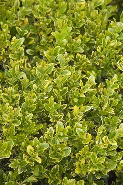 Boxwood Golden Triumph Plants Buxus Microphylla Japanese