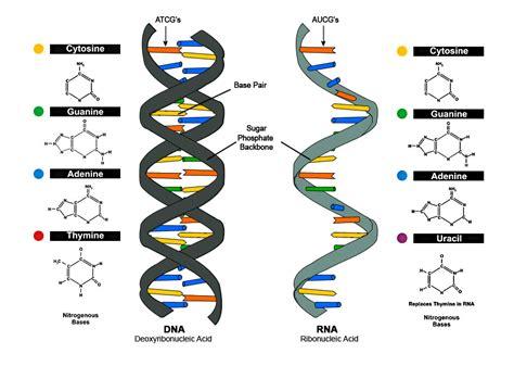Origin Of Life In Rna And Ribosomes, Not Selfish Dna  Dave Kirk, Science Jerk