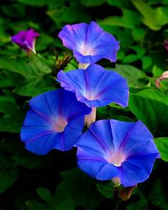 Morning Glory | Flowers | Pinterest