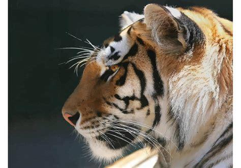 bengal tiger wallpaper   vector art stock